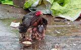 Video: Gà mẹ dang cánh che chở cho đàn con trong mưa bão