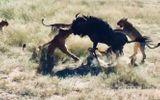"""Video: Linh dương đầu bò """"đơn thương độc mã"""" đả bại 8 con sư tử"""