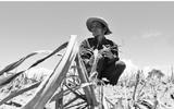 Tin tức - Đắng chát mía Ninh Thuận, nông dân cầm dao đằng lưỡi