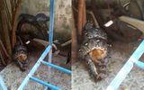 """Tin tức - Video: Trăn """"khủng"""" dài 3,5 mét bò vào nhà dân siết chết mèo"""