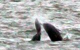 Video: Đàn cá voi sát thủ hợp sức giết cá heo ở ngoài khơi California