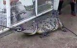 Video: Người dân vây bắt cá sấu dài 3 mét giữa đường phố