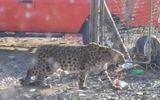 Video: Báo hoang mò vào vườn nho tấn công 30 con gà