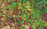 Lạ: 5 loại rau dại tại các nước lại trở thành đặc sản được săn lùng ở Việt Nam