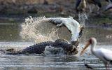 """Video: Hãi hùng cảnh cá sấu """"khổng lồ"""" ăn thịt đồng loại"""