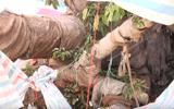 """Cận cảnh cây """"quái thú"""" vừa bị bắt giữ ở Quảng Bình"""