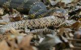 """Video: Rùng mình hổ mang chúa """"khổng lồ"""" nuốt trọn rắn săn chuột"""