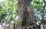 Vụ cây sưa trăm tỷ ở Hà Nội: Một nhánh cây được bán đấu giá 31 tỷ đồng