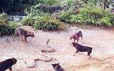 Tin tức - Video: Rùng mình cảnh đàn chó lao vào xé xác rắn hổ mang chúa