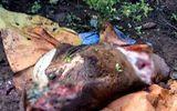 Tin tức - Nhốt bò ở rẫy, chủ đau đớn phát hiện bị trộm cắt mất 4 chân