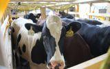 Kinh doanh - Vinamilk tiếp tục nhập hơn 200 cô bò hữu cơ về Việt Nam - Khẳng định vai trò tiên phong trong xu hướng organic cao cấp