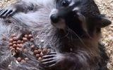 Tin tức - Video: Tan chảy trước cảnh quý cô gấu mèo nhấm nháp bữa trưa trên bụng