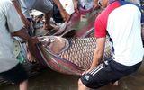 Tin tức - Tin tức thời sự 24h mới nhất ngày 11/12/2018: Ngư dân bắt được cá hô nặng 125 kg trên sông Tiền