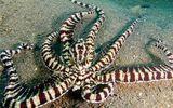 """Video: Bạch tuộc """"phù thủy"""" biến hình thành rắn biển trong chớp mắt bằng kỹ năng """"thượng thừa"""""""
