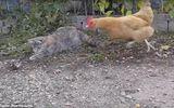 """Video: Gà mái gan dạ """"nẫng tay trên"""" của mèo béo, bắt chuột rồi bỏ chạy"""