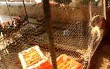 Bắn thuốc mê giải cứu báo hoa mai mắc kẹt trong chuồng gà