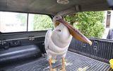 Quảng Trị: Ngư dân giải cứu chim bồ nông nặng 9kg có gắn thiết bị định vị