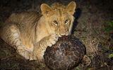 """Tin tức - Cuộc chiến sinh tồn: Sư tử """"hờn cả thế giới"""" khi gặm tê tê mỏi hàm vẫn không được miếng nào"""