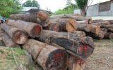 """Pháp luật - Vụ trùm gỗ lậu Phượng """"râu"""": Khởi tố trạm trưởng quản lý rừng"""