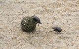 Tin tức - Video: Trận kịch chiến kinh hoàng giữa 2 con bọ hung