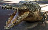Ông bố cắn thẳng vào chân cá sấu, cứu sống con trai bị lôi xuống nước
