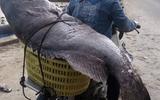 """Ngư dân Quảng Trị bắt được cá mú """"khủng"""" nặng 82 kg ngày giáp Tết"""