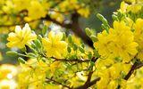 Video: Choáng ngợp trước cây mai có tán phủ hơn 50 m2 nở hoa vàng rực