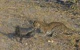 Cuộc chiến sinh tồn: Chọn nhầm con mồi, báo đốm bị lửng mật đuổi đánh tơi bời
