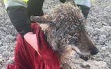 Tin tức - 3 công nhân cứu sói đông cứng dưới băng vì nhầm là chó