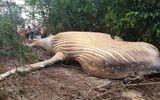 Nhà nghiên cứu đau đầu tìm nguyên nhân xác cá voi khổng lồ xuất hiện trong rừng rậm Brazil