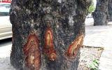 Hà Nội: Làm rõ việc hàng loạt cây xà cừ bị lột vỏ, đục khoét trên các tuyến phố lớn