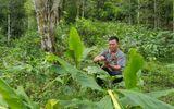 Xôn xao cây thuốc quý của người dân tộc Dao chữa khỏi bệnh viêm đại tràng