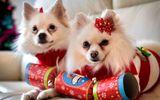 Noel 2014: Cô gái chi hàng chục triệu đồng sắm quà cho… cún cưng