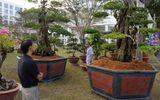 Những cây cảnh độc đáo tiền tỷ dịp Tết Nguyên đán 2015