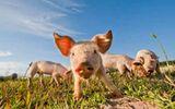 Thử nghiệm phương pháp cấy ghép thận từ lợn sang người