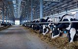 Bầu Đức hợp tác với Nutifood sản xuất sữa tươi