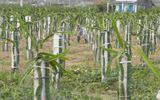 Thanh long rớt giá, dân vẫn lấp ruộng để trồng