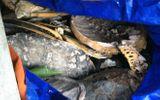 Đột kích kho xác rùa biển khổng lồ ở Nha Trang