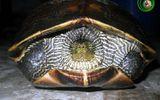 Đà Nẵng: Đã xác định chính xác tên của rùa lạ