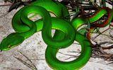 Nghi án người lạ thả rắn lục đuôi đỏ với mưu đồ xấu ở Quảng Ngãi