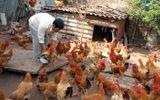 """Kinh hãi thực phẩm bẩn, nông dân """"tẩy độc"""" cho cá, gà"""