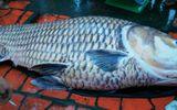 Vĩnh Long: Bắt được cá hô vàng nặng 130kg