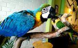 Đại gia Việt rộ thú chơi vẹt Nam Mỹ, chim quý tộc chục nghìn USD