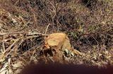 An ninh - Hình sự - Khởi tố vụ án phá rừng giáp ranh tại Quảng Nam