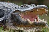 Video-Hot - Trận kịch chiến kinh hoàng của cá sấu khổng lồ