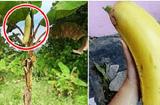 Cộng đồng mạng - Sự thật về cây chuối lạ ra quả khổng lồ dài gần 1m gây xôn xao
