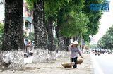 Tin trong nước - Chùm ảnh: Hàng xà cừ trên đường Kim Mã trước ngày di chuyển