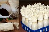 Ăn - Chơi - Bỏ túi ngay mẹo trồng nấm kim châm từ phần rễ bỏ đi