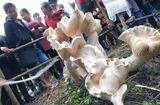 Ăn - Chơi - Phát hiện cây nấm lớn khổng lồ nhất thế giới cao gần 1m