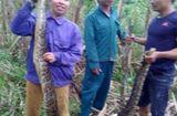 Tin trong nước - 2 con trăn gấm nặng 30 kg bị người dân vây bắt, nấu cao